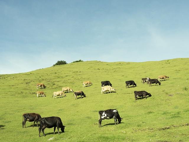 大自然と牛